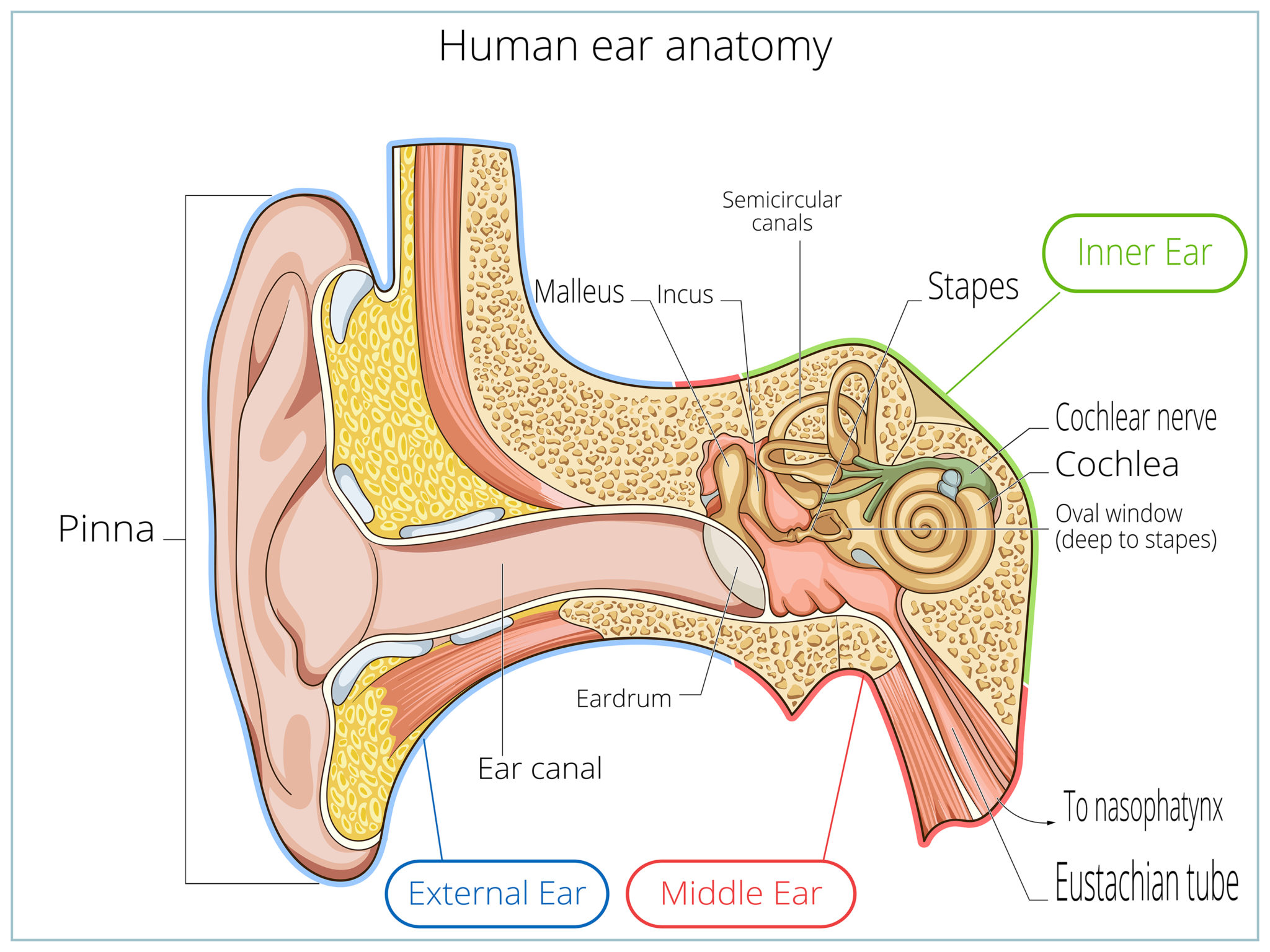 Ear Anatomy Causes Of Hearing Loss Hearing Aids Audiology