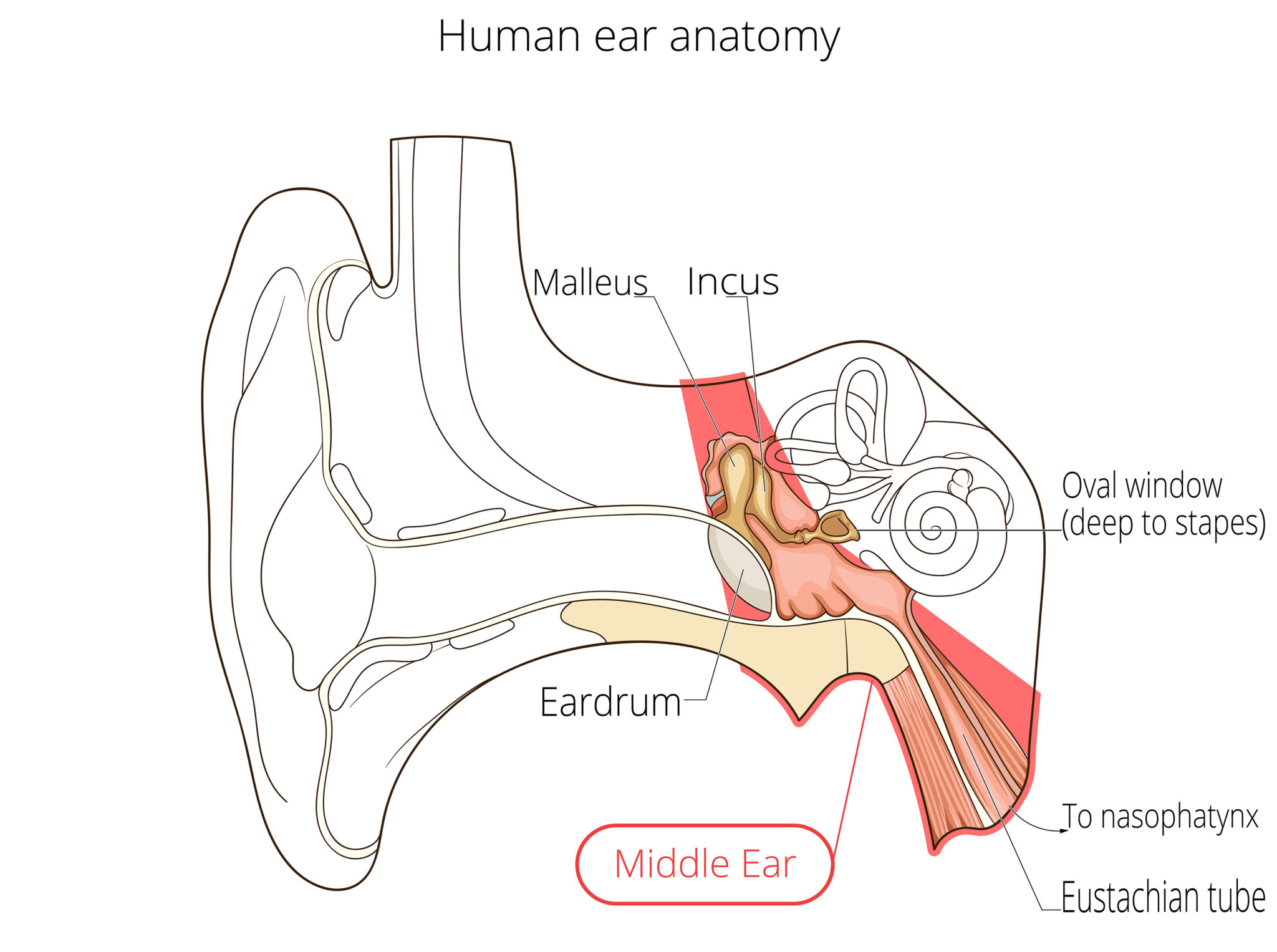 Ear Anatomy | Causes of Hearing Loss | Hearing Aids | Audiology